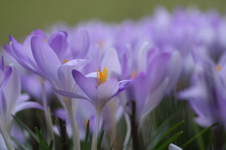 Krokusse - eine der schönsten Frühjahrsblüher im Garten. Hier Tipps zur Pflege, Vermehrung und Gartenideen für den richtigen Standort und Sorte dieser wunderbaren Pflanzen
