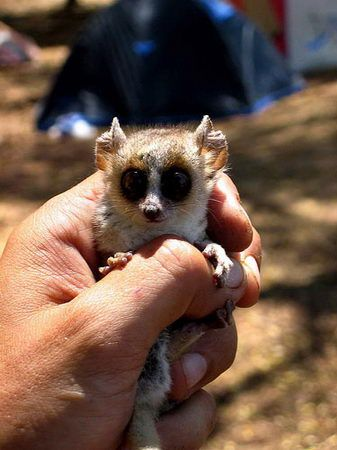 Slow loris or Bush baby. Someone once told me I looked like one of these with my freakishly large eyes.