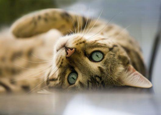 Kot rasowy czy dachowiec?
