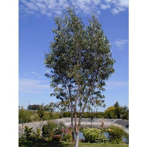 Eucalyptus des Neiges