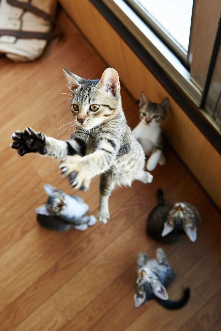 52 magnifiques photos de chats qui sautent   53 superbes photos de chats qui sautent jumping cats 22
