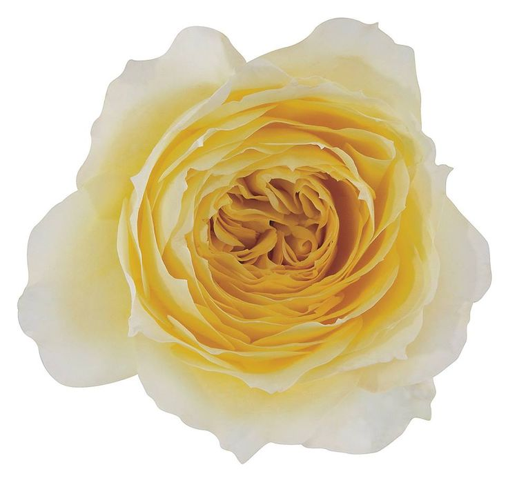 It has a delightful vanilla color that is darker in the center and lighter towards the edges.