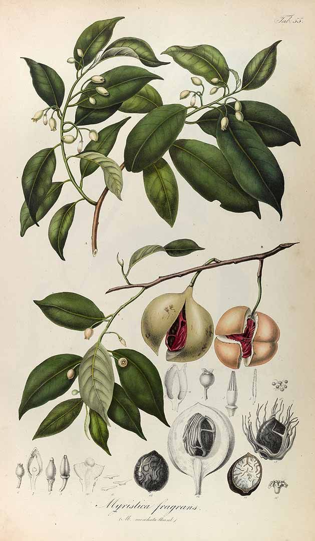 Nutmeg, Myristica fragrans Houtt. Blume (1835)