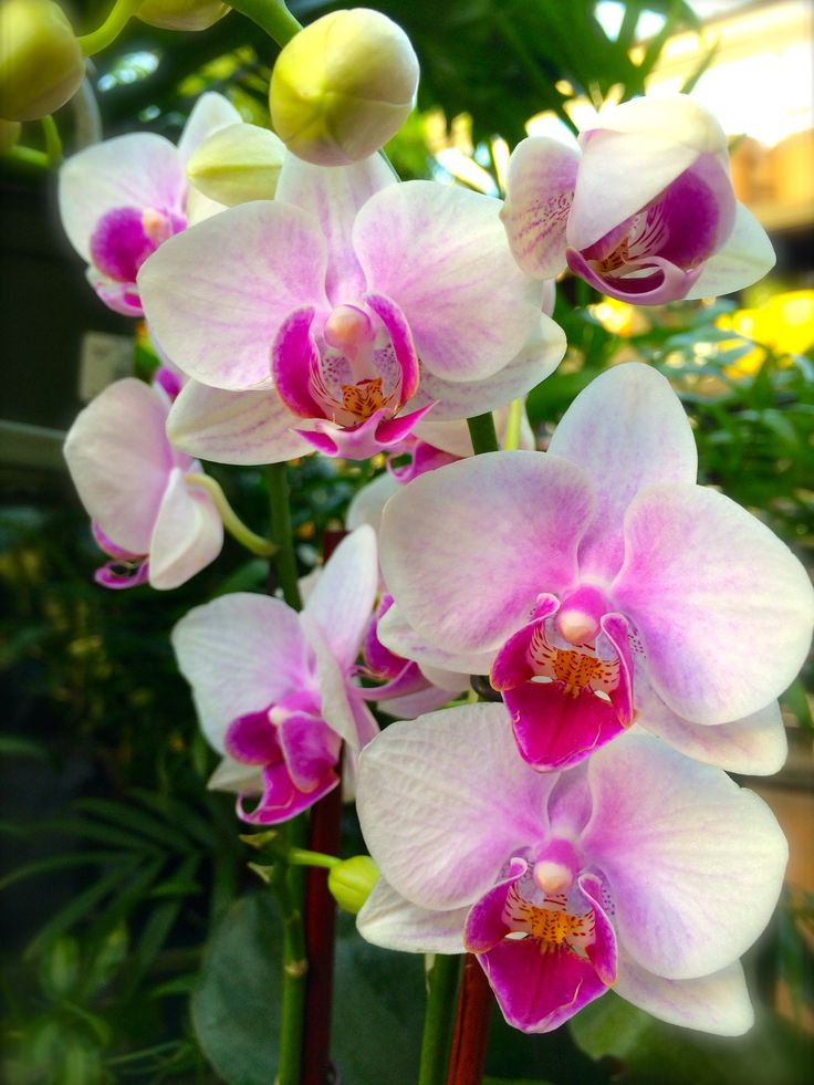 A cascade of orchids adds beauty and color to your home, especially during gray winter months. Available at Bucks Country Gardens, Doylestown PA, 2015. #gardening #orchids