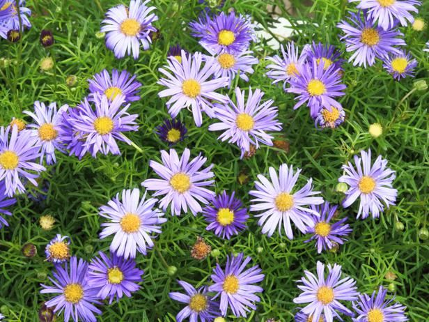Swan River daisy 'Blue Mist'  14 inches tall, 18 inches wide. Ideal growing conditions: full sun, well-drained soil.