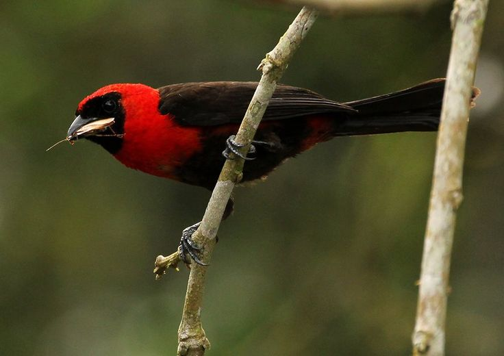 Masked Crimson Tanager, by Frank Thierfelder, bringing food (in form of a flying termite) to its nest. Photo taken in Amazonian Peru (Loreto Region)
