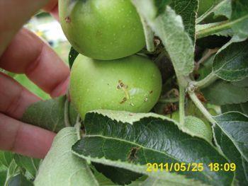 24/09/2013 (Ed. 639) O Bichado da maçã  Traça de seu nome científico Cydia pomonella Estamos na altura da colheita das maçãs. Ao contrário do que centenas de filmes de gatas borralheiras, brancas-de-neve, belas adormecidas e afins nos fizeram crer desde a mais tenra infância, as maçãs não saem todas incólumes, apetitosas e brilhantes. Mesmo que sejamos daqueles produtores que perdoam as manchadas, disformes ou pequenas com a desculpa de que quanto mais feias melhores, há um problema que…