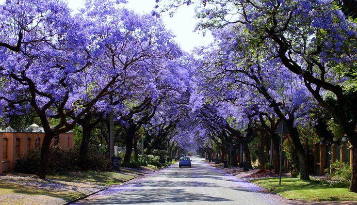 Jacarandas Walk, South Africa: Purple Trees, Le Shallon, Jacaranda Trees, Trees Tunnel, Jacaranda Walks, Beautiful Trees, South America, Jacaranda Cities, South Africa