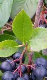 Jak jsem již psal v zahradě, aronie neboli temnoplodec je zázrak domácí medicíny. Výborně se sbírá, zvlášť když vám vyroste jako keř a nikoliv jako strom. Ale pozor - toto ví...