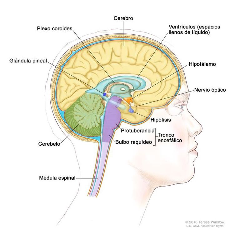 Dibujo del interior del encéfalo que muestra los ventrículos (espacios llenos de líquido), el plexo coroides, el hipotálamo, la glándula pineal, la hipófisis, el nervio óptico, el tronco encefálico, el cerebelo, el cerebro, el bulbo raquídeo, la protuberancia y la médula espinal.