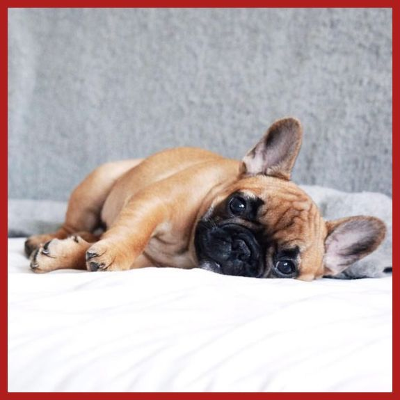 Blue French Bulldog Puppies Are The Cutest Pups Ever Bulldog Puppies Bulldog French Bulldog