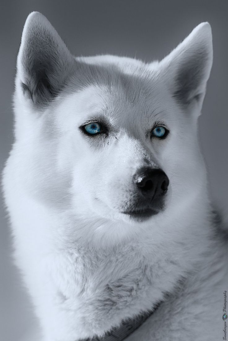 the gallery for gt white siberian huskies with blue eyes