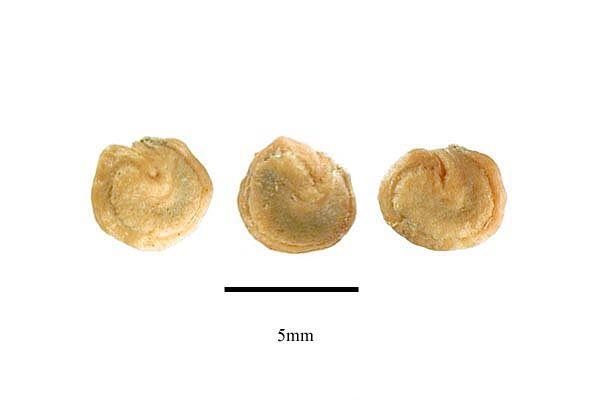 http://www.ars-grin.gov/npgs/images/sbml/Opuntia_macrorhiza_seeds.jpg