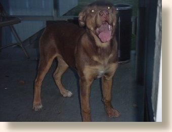 Molosser Dogs Gallery - Rottweiler/Red Rottweiler
