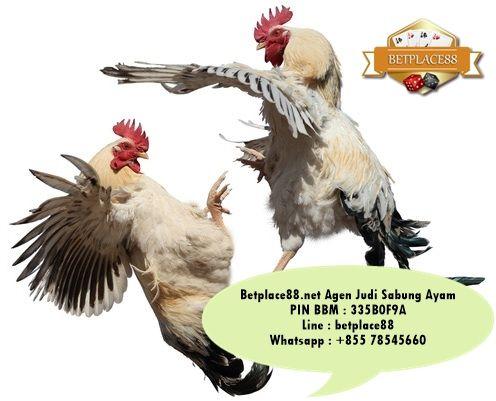 Pasang taruhan sabung ayam online secara live video di S128 - Daftar Accountnya via Betplace88.net (Agen Resmi S128) - Minimal deposit Rp 100.000 support rek BCA, Mandiri, BNI dan BRI => Pin BB : 335B0F9A / Line : betplace88 / Whatsapp : +8557855660