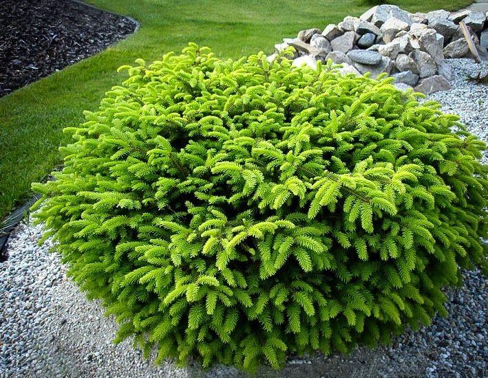 26 best landscape ideas images on pinterest garden shrubs scientific name picea abies birds nest spruce perennial height 3 5ft sciox Images