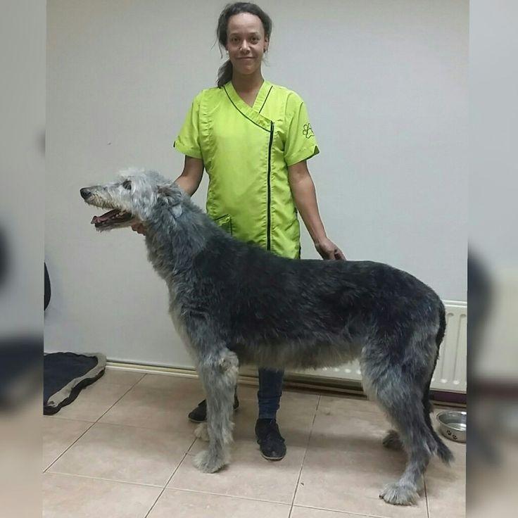Irish Wolfhound Gentle