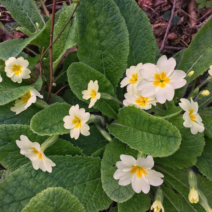 Lots of wild primroses out on my walk this morning. It brightens up the woods so much #beautifulthurrock #thurrock #springiscoming #springishere #daveydown #gentlewalking
