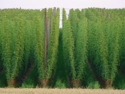 Selecting the Right Trellis Design to Grow Great Hops
