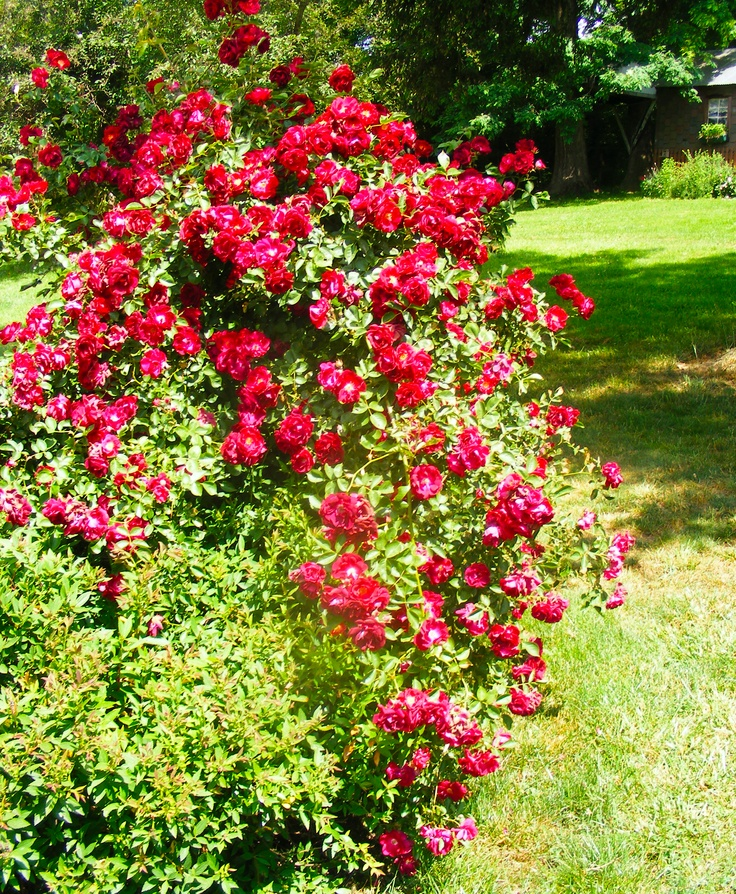 Mulching Roses Bushes: 98 Best BUSHES Images On Pinterest
