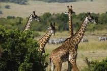 Wild Life Safari Tour Packages From Chennai, Madras Travels & Tours offer a special chance for visiting the best holiday spot. Avail Wild Life Safari Tour Packages and also best deal.