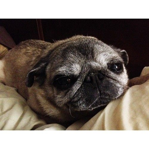 Geriatric pug. needs lots of love.