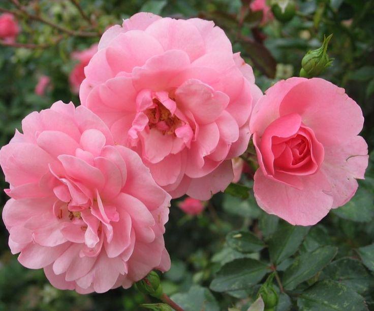 Til kærligt minde om alle mine smukke roser i haven som desværre har fået nippet alle friske skud blade og blomsterknopper af... af de f#%<%# dådyr der så yndigt hærger haven tidligt om morgenen!  #webshop #roser #dådyrene #harædtalleroserne #hulk #øv #herskullederståenmassebandeord
