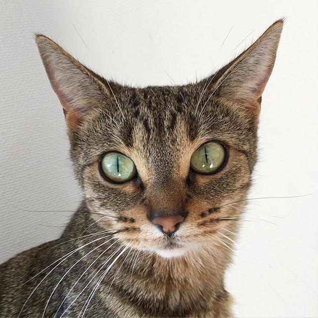 証明写真みたい #猫#ねこ#ネコ#neko#オシキャット#catphoto #cat#catspet #animalphoto #animal #instagramcats #instagramcat #catsofinstagram #catlover #catphoto #lovely #loves_cats #prettymynyanzoooo2016/02/27 12:30:58