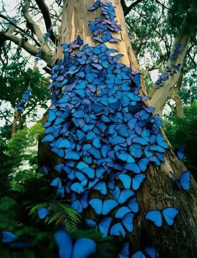 Blue Morpho butterflies crowding around a tree at the Amazon Rainforest, Brazil