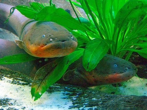Amazon Rainforest Animals: amazon Electric Eel  The electric eel (Electrophorus electricus) is an electric fish, and the only species in its genus. It is capable of generating powerful electric shocks of up to 600 volts, which it uses for hunting and self-defense. It is an apex predator in its South American range. Despite its name, it is not an eel, but rather a knifefish.