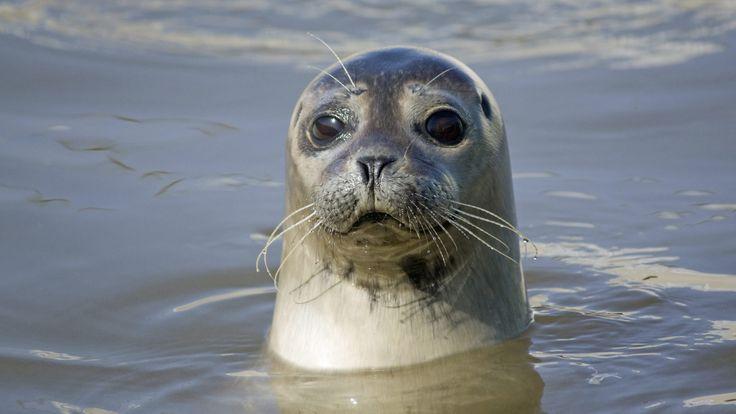 Grijze zeehonden mannentjes worden tot de 30 jaar oud en vrouwtjes worden iets ouder want die worden meer dan  45 jaar oud