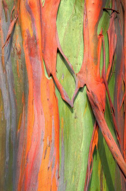 Rainbow Eucalyptus Tree Bark   Greg Matthews