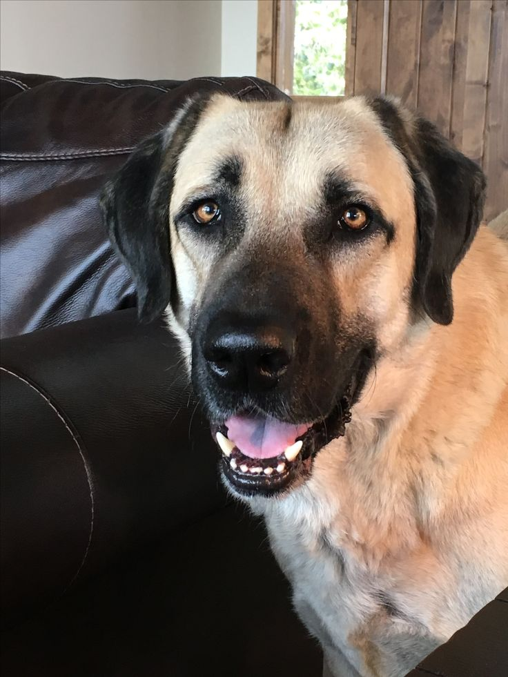 My baby Bear. The Anatolian Shepherd