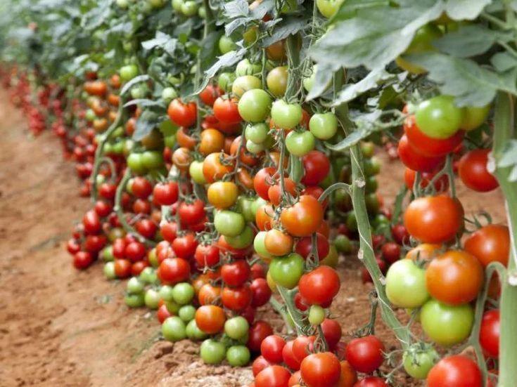 Tomates Tomates Jardim Photo Blog In 2019 Tomaten Pflanzen Gemuse Anbauen Und Tomatenanbau