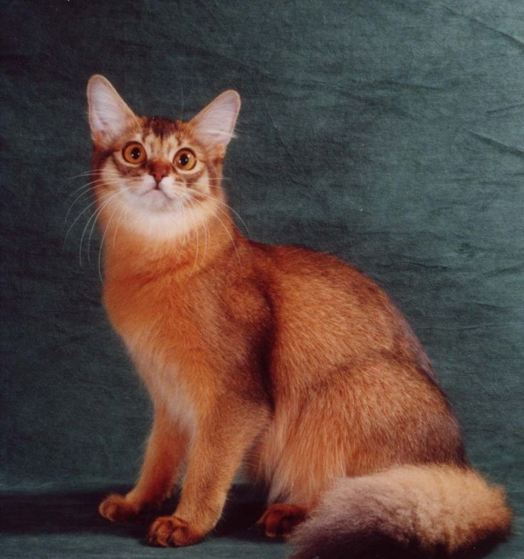 Red Somali Cat