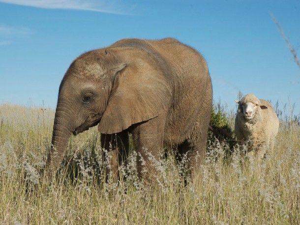 Elephant and Sheep pals...