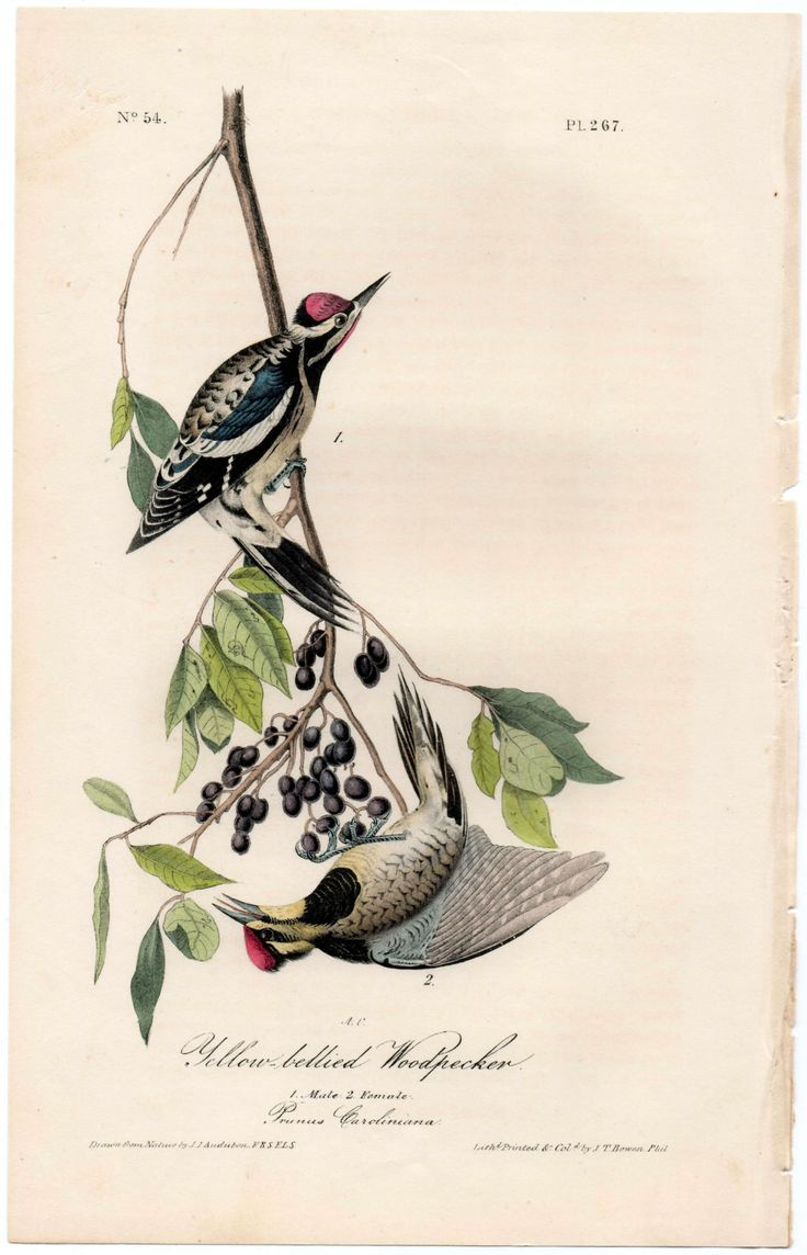 #Audubon #WoodPecker #YellowBelliedWoodpecker #Sapsucker #YellowBelliedSapsucker #Animals #Birds #Antiques #Collectibiles #Mammals #FineArt #Prints #Vintage #AntiquePrints #Engraving #NaturalHistory #Nature #WildLife #Natura #StoriaNaturale #Animali #Uccelli #Arte #Stampe #StampeAntiche #Picchio #PicchioPanciagialla
