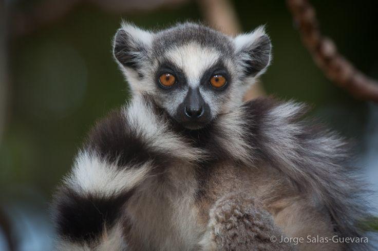 Madagascar. Berenty Reserve. Ringed Tailed Lemur.