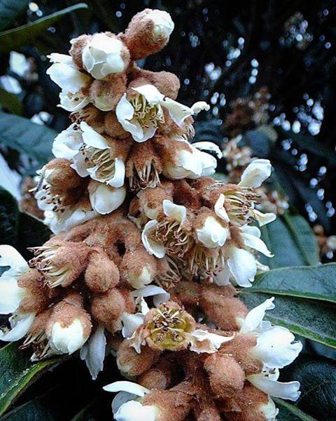 白いブラウスに 茶色のフカフカセーター。 今日のワタシと同じじゃん。 まさかビワとかぶるなんて、なぁ。   #flower #花 #tree #樹