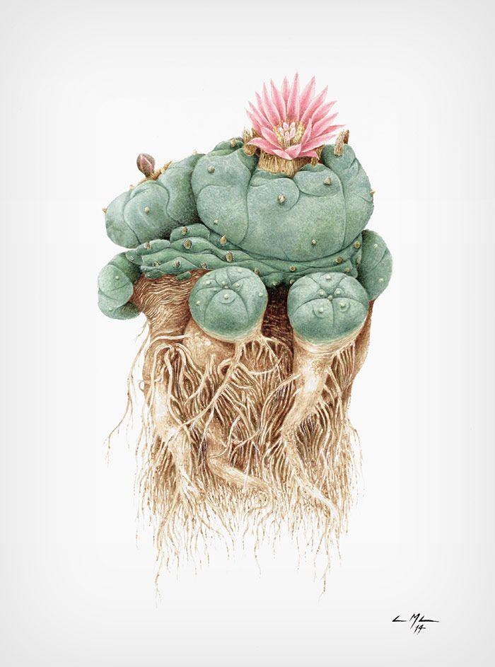 Peiote (Lophophora williamsii) | Ciro MacCord