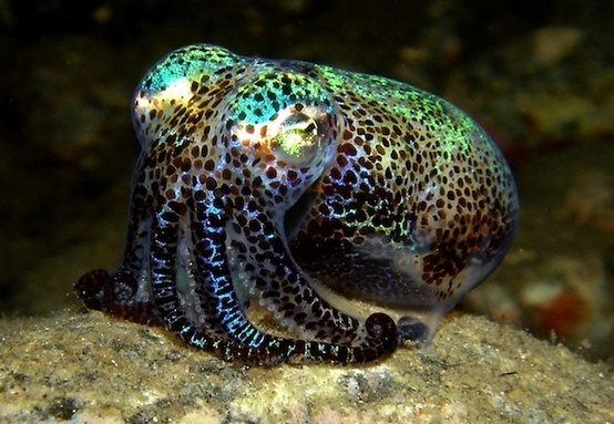Bobtail squid | aquarium fish freshwater | saltwater fish ...