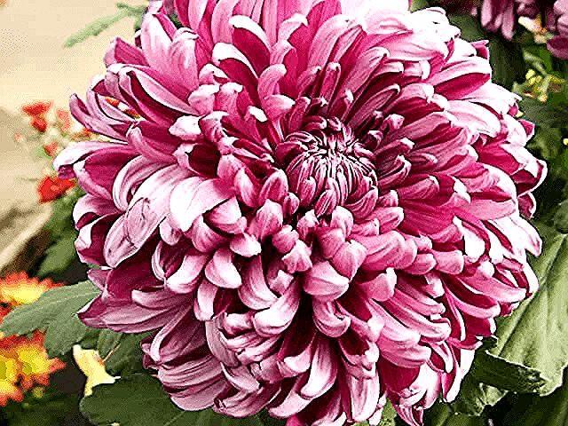 En La Clasificacion De Uso Comercial Crisantemo Es Una Flor Comercial Chrysanthemum Plant Chrysanthemum Plant Gardens Easy Perennials