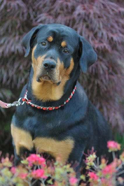 Rottweilers Sooo Cute Pinterest Dogs Rottweiler And Baby Dogs