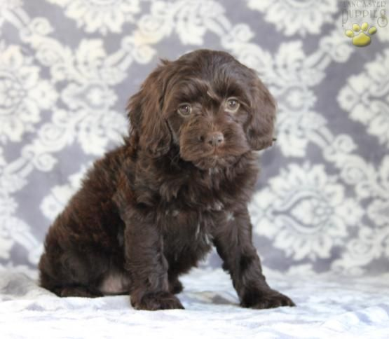 Angel - Cockapoo Puppy for Sale in Ronks, PA | Lancaster Puppies