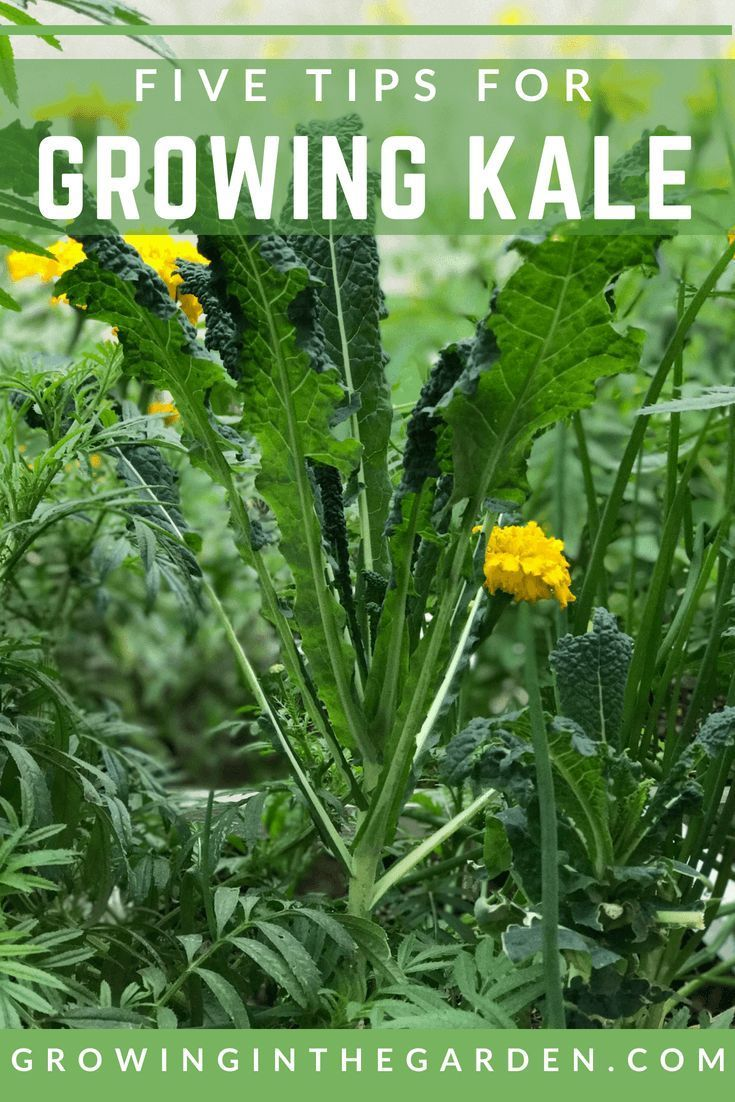 How To Grow Kale With Images Growing Kale Home Vegetable
