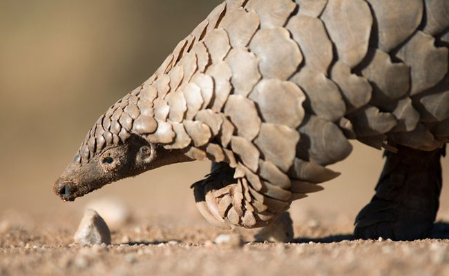 Huge Seizure Of Pangolin Scales Highlights The Need For Urgent Action | Care2 Causes