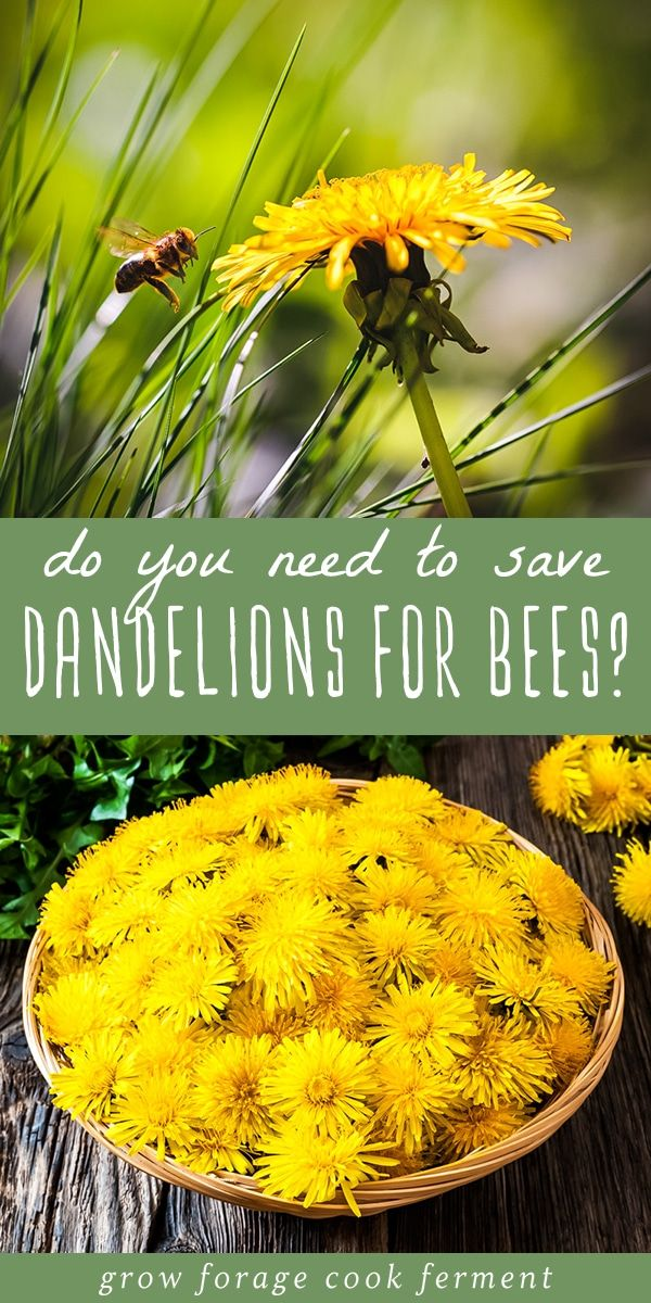 6 Reasons You Don T Need To Save Dandelions For The Bees In 2020 Dandelion Bee Early Spring Flowers
