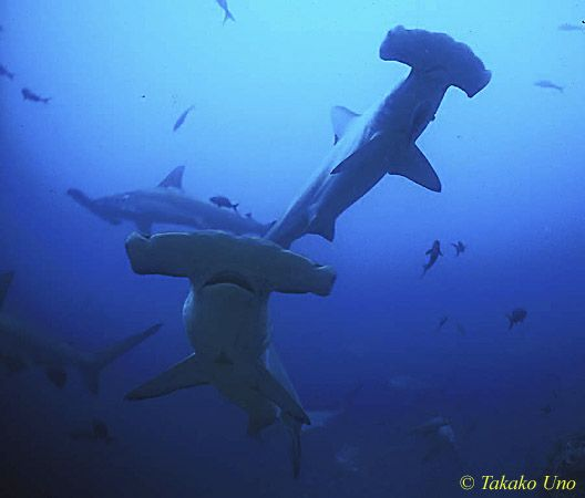 Hammerhead Shark in Hawaii | Hammerhead Shark Habitat Map Pictures