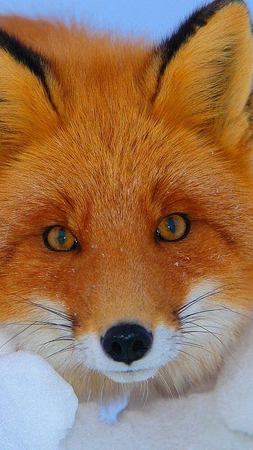 Red Fox - A raposa vermelha é uma criatura calma e tem espírito da astúcia, da…