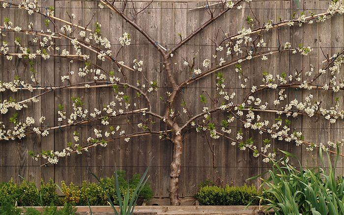 espaliered fruit trees are high yield give lots of fruit